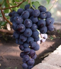 Винограда Забава – сорт раннего срока созревания