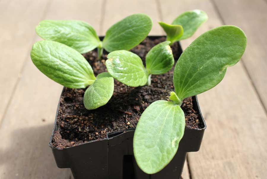 Чтобы получить очень ранний урожай, следует использовать для посадки в открытый грунт рассадный материал