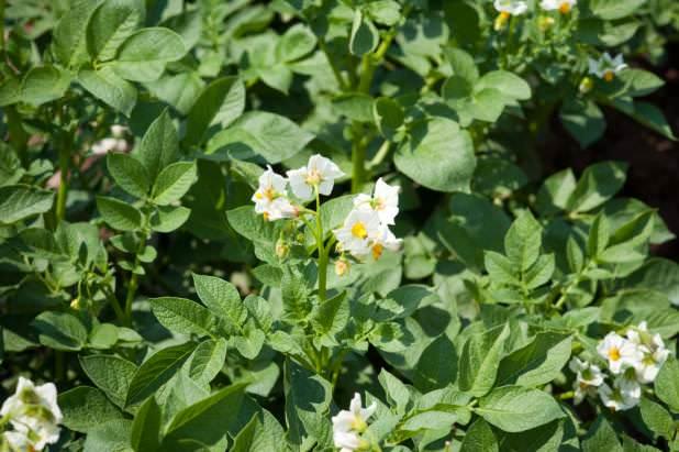 Сорт «Маяк» характеризуется устойчивостью к раку картофеля