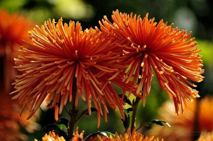 Хризантемы очень любят солнце в течение всего дня, за исключением полудня, когда его лучи могут навредить растениям