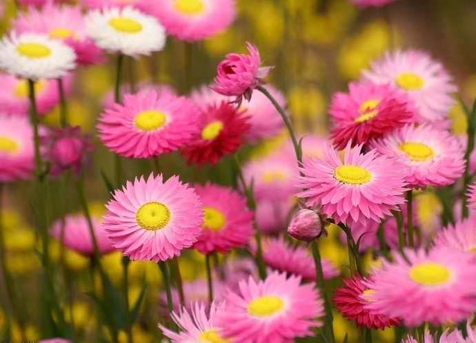 Маргаритки являются светолюбивыми растениями, участок должен быть достаточно солнечным