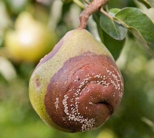 Если на груше гниют плоды, скорее всего, дерево поразила плодовая гниль