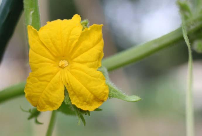 Преимуществом гибридной формы «Изумрудный город» являются цветки женского типа