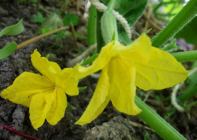 Всхожесть семян «Седрик f1» очень хорошая и не бывает ниже 97-98 %