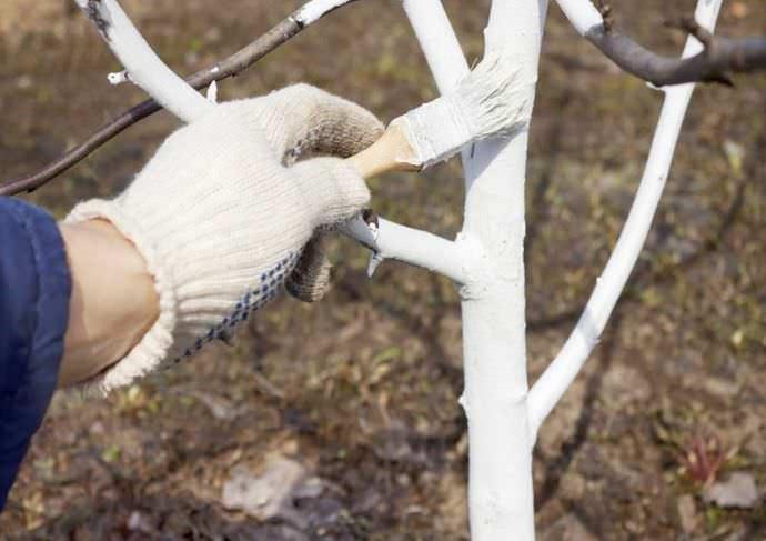 В середине октября абрикос «Фаворит» нужно побелить