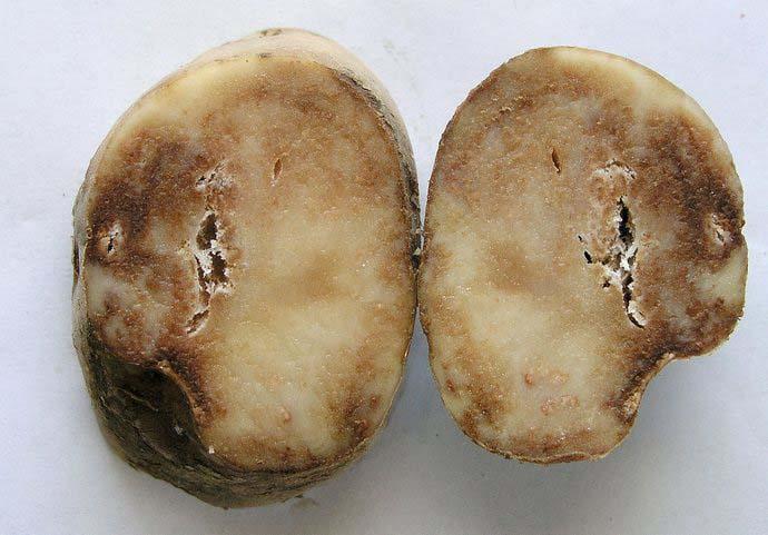 Собранный урожай клубней, единично пораженных заболеванием, может оказаться испорченным уже к середине зимы