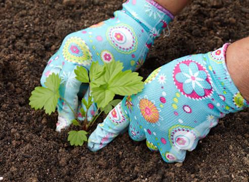 Клубника, посаженная в весеннее время, может дать плоды уже тем же летом