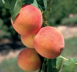 Колоновидные персики и нектарины являются карликовыми сортами