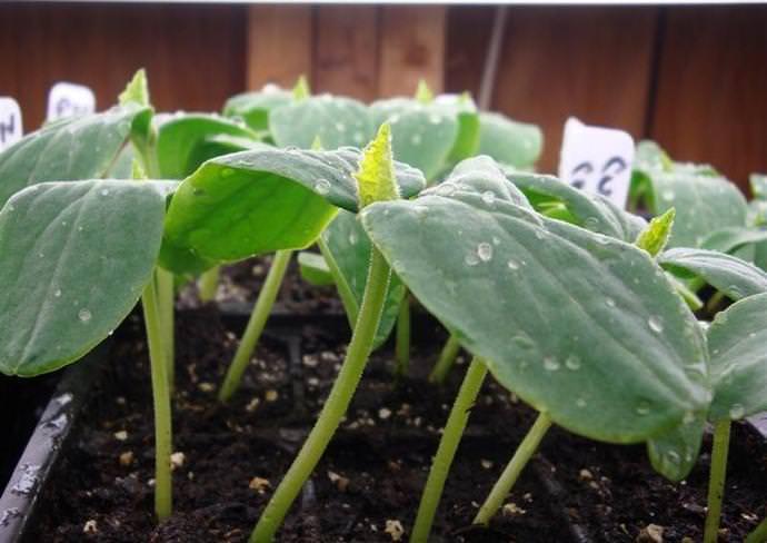 Для получения раннего урожая сорта «Уран F1» необходимо использовать рассадный способ выращивания
