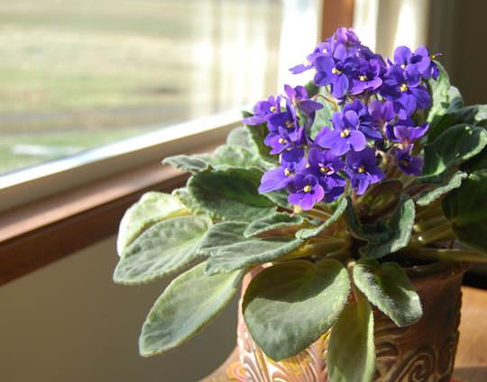 Для активного роста и цветения узамбарскую фиалку нужно держать в светлом помещении поближе к окну