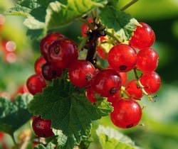 Смородина красная является маленьким листопадным кустарником из семейства Крыжовниковые