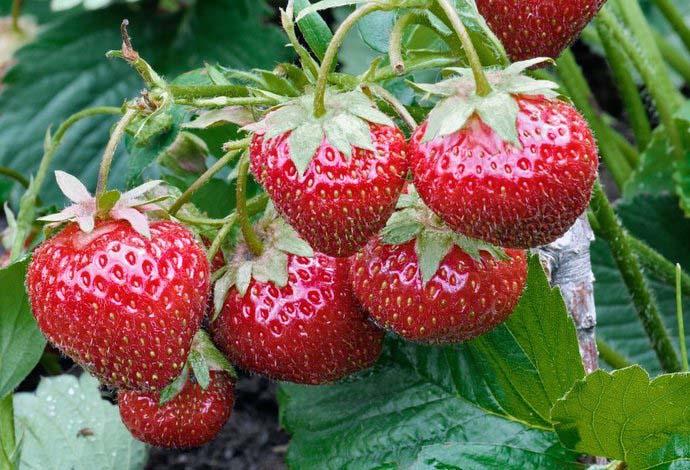 Растения, полученные из семян, дают лучший урожай и меньше болеют