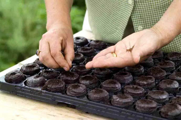 Оптимальный вариант выращивания земляники из семян – торфяные таблетки