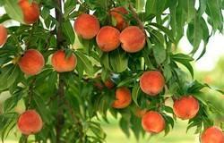Выращивание персика популярно в районах с устойчиво теплым климатом