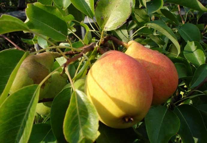 Высокую оценку груша «Отрадненская» получила за скороплодность и высокую продуктивность