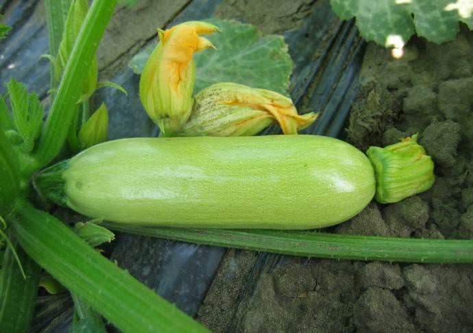 Гибридная форма «Кавили f1» отзывчива на плодородный грунт и подкормки