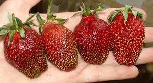 Земляника Рубиновый кулон относится к среднеурожайным сортам
