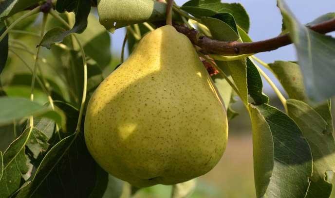 Груша «Пермячка» обладает достаточной зимостойкостью, что позволяет выращивать ее на Урале