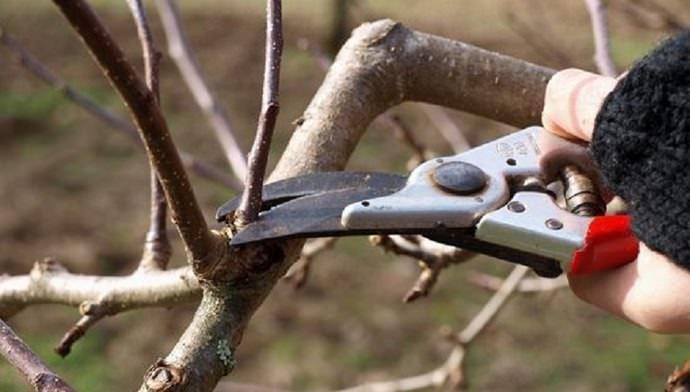 Потерю урожая абрикоса «Королевский» позволяет минимизировать регулярное осуществление обрезки побегов и ветвей, пораженных растительным паразитом