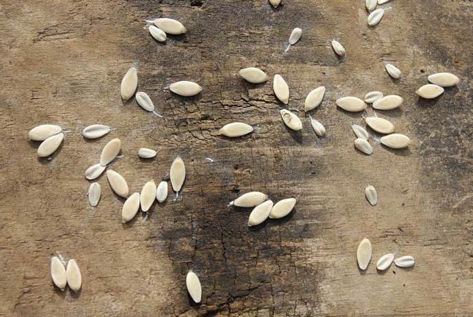 Для посева используются как сухие, так предварительно обработанные семена огурцов сорта «Изумрудная семейка»