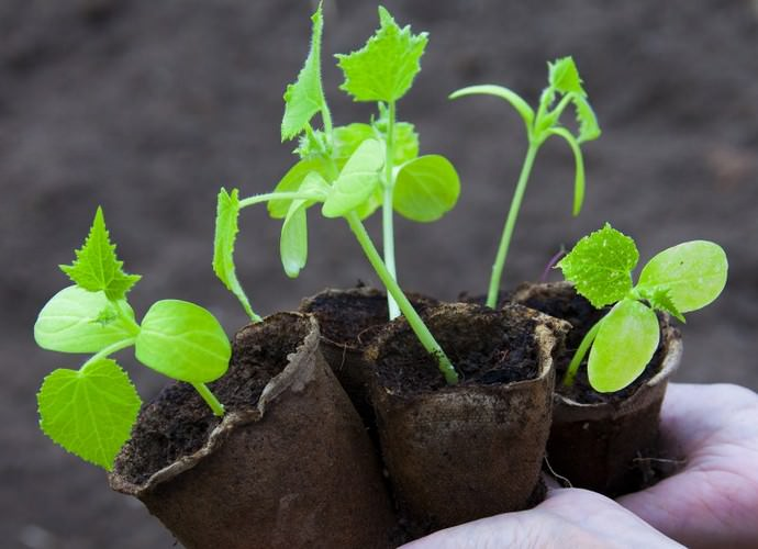 Посадку и посев огурцов «Изумрудный город» в открытый грунт нужно проводить не раньше первых чисел июня