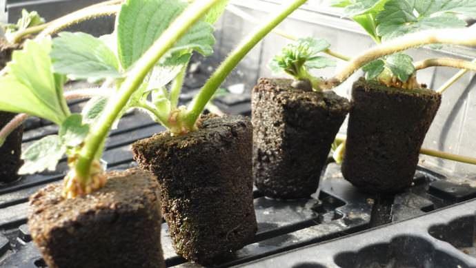 Пересадка саженцев осуществляется с расстоянием в 20-30 см, что позволит обеспечить каждому ягодному растению оптимальную площадь питания