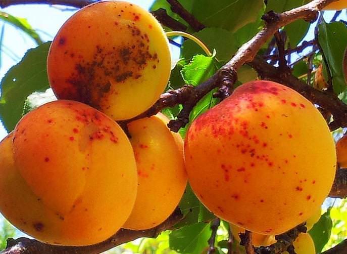 Парша косточковых является одним из наиболее распространенных заболеваний абрикоса в вегетационный период