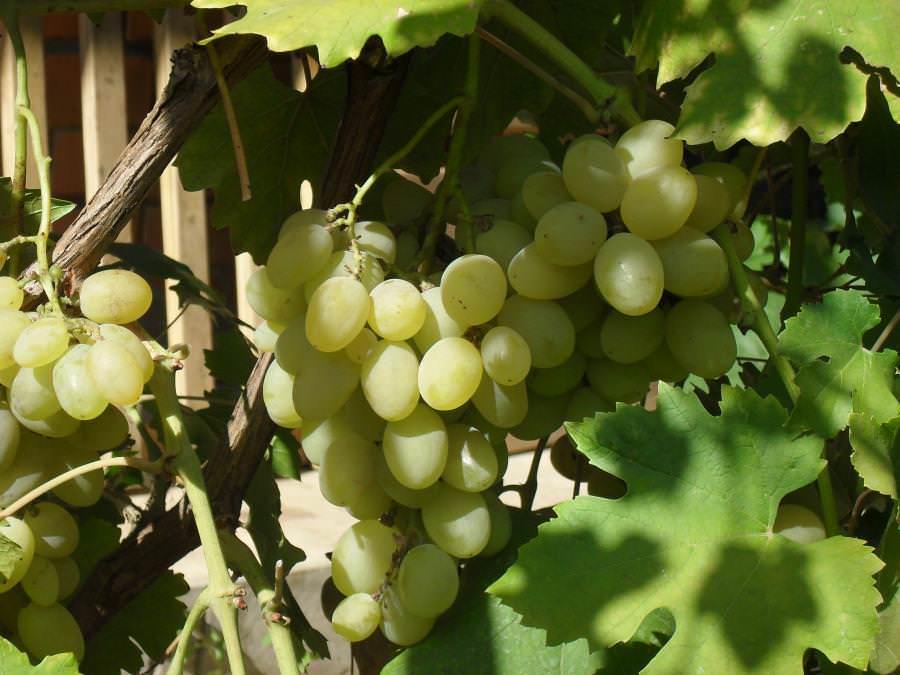 В конце июля могут начать созревать ранние сорта винограда