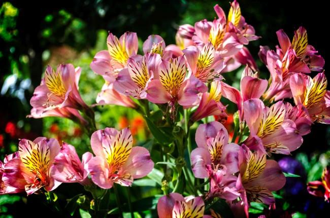 В течение периода цветения увядшие части альстромерии нужно удалять