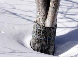 Самым губительным для абрикосовых деревьев является негативное воздействие зимних оттепелей