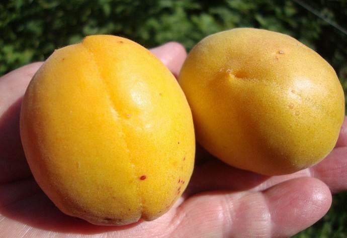 Сорт абрикоса «Шалах» не требует много времени и сил при выращивании