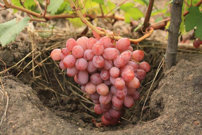 В августе подкормите виноград минеральными удобрениями