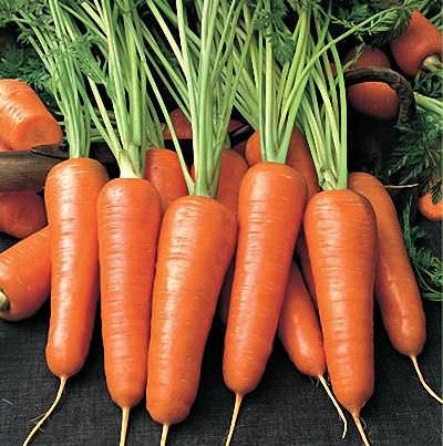 Морковь Абако F1 характеризуется непродолжительным вегетативным периодом