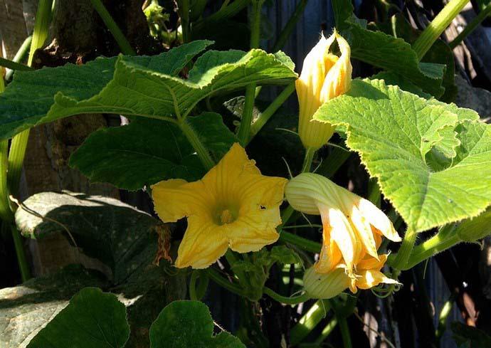 Для выращивания сорта Улыбка желательно отводить хорошо освещаемые солнцем участки