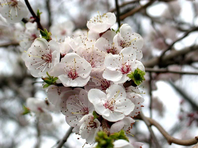 В плодоношение сорт Сирена вступает на третий или четвертый год после посадки на постоянное место