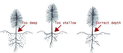 Корневая шейка растения должна обязательно располагаться на одном уровне с почвой