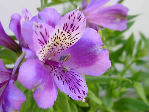 Альстромерия – очень неприхотливое растение, которое хорошо растет и цветет на открытом пространстве в саду и в горшечной культуре