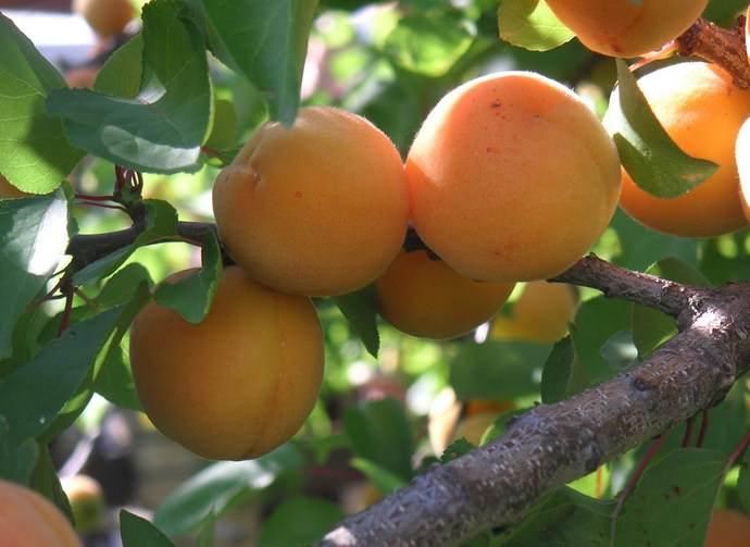 Урожай сорта «Алеша» вызревает в последней декаде июля или первой половине августа