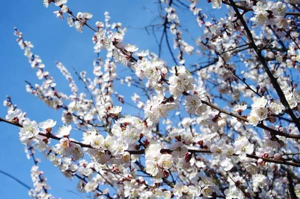 В стадию плодоношения деревья сорта «Шалах» вступают примерно на четвертый год