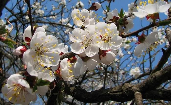 Относительно позднее цветение способствует снижению риска поражения цветочных почек поздними весенними заморозками