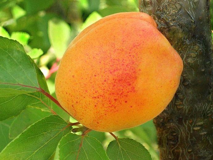Особенностью сорта «Звездный» является достаточно крупные плоды