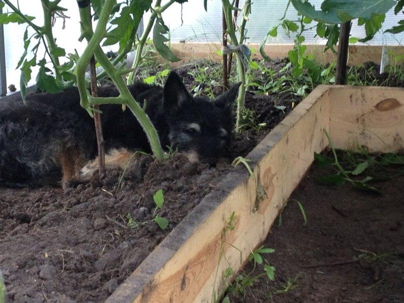 Что делать, если помидоры посажены очень близко друг к другу