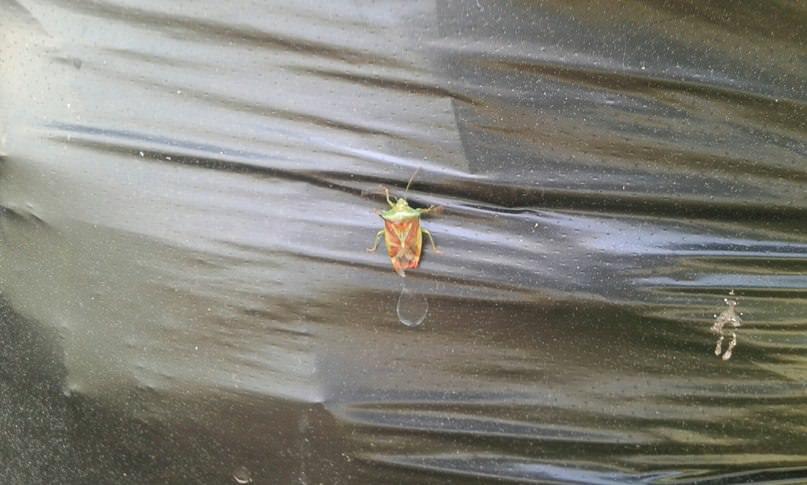 Что за насекомое появилось на огурцах и опасно ли оно