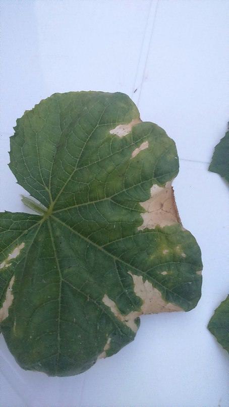 Почему по краям сохнут листья у огурцов