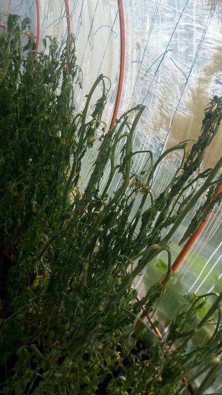 Что сделать с помидорами после ухода воды