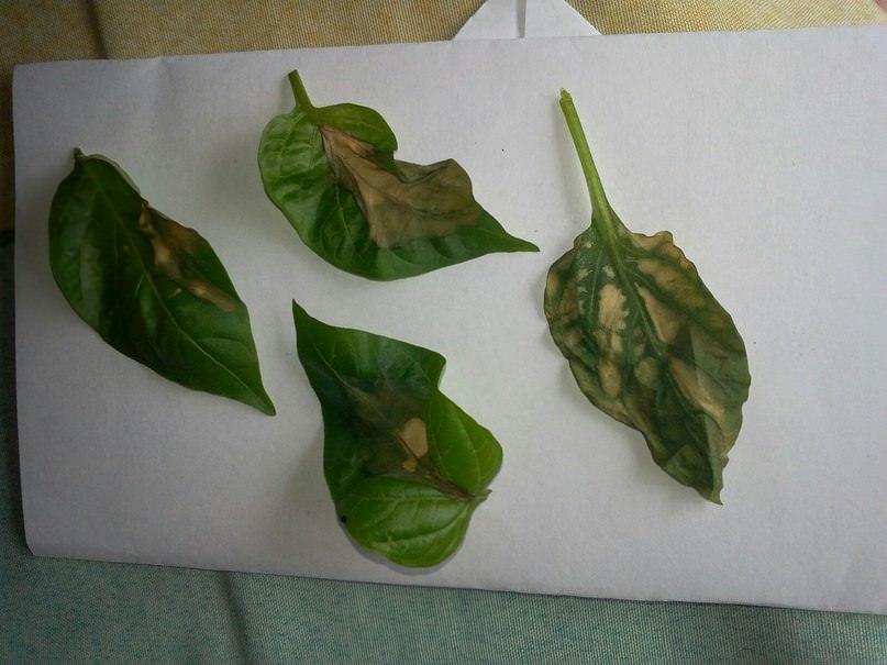 Почему на листьях перцев и томатов появляются темные пятна