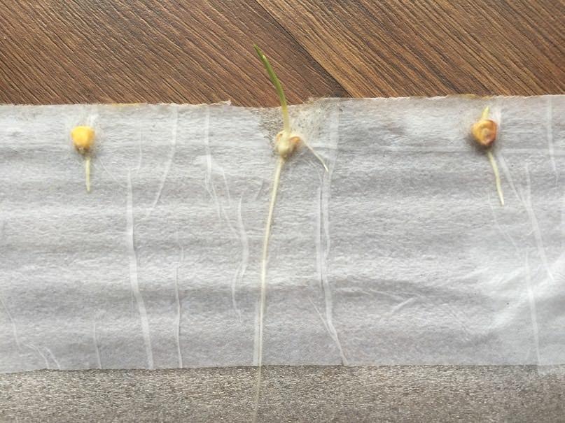 Что делать, если на семенах кукурузы в улитке появилась паутина