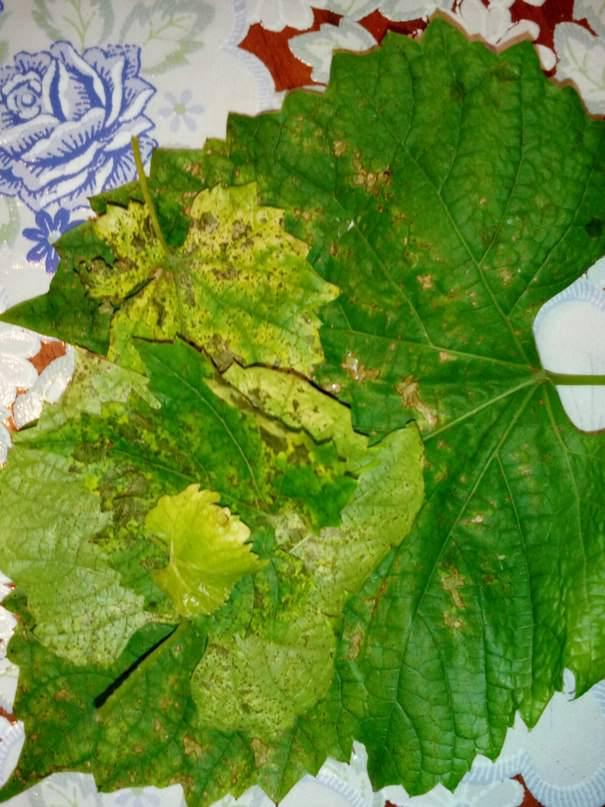 Чем вылечить виноград