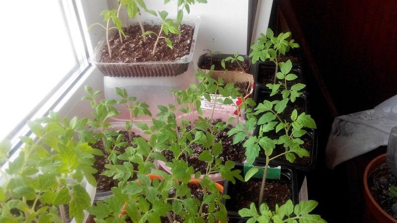 Пора ли пикировать рассаду помидор