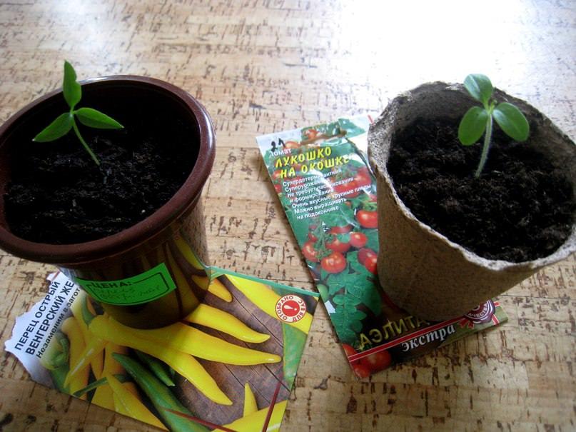 Рассада имеет по 3 семядольных листа